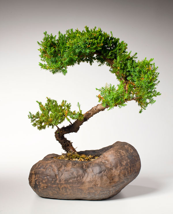 This juniper bonsai in a stone pot is only about a foot tall. Periodic pruning maintains the shape and size, but the trunk grows thicker. Photo by Ralph Anderson.