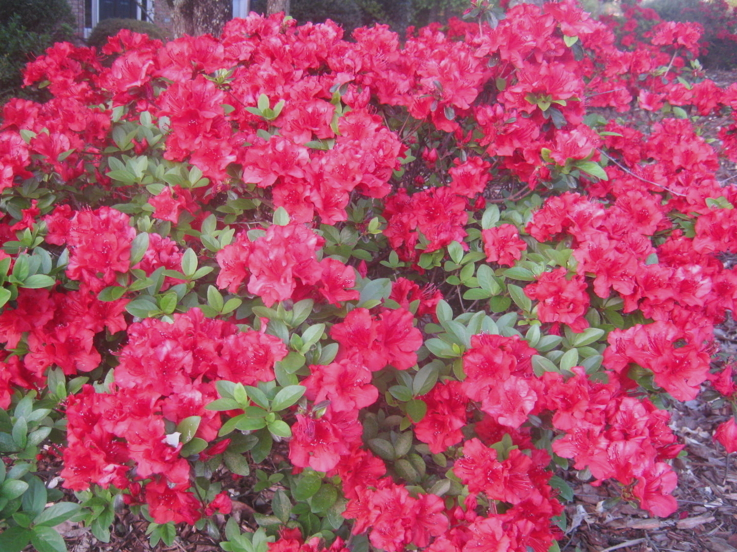 'Hershey's Red' Kurume hybrid azalea. Photo by Steve Bender.