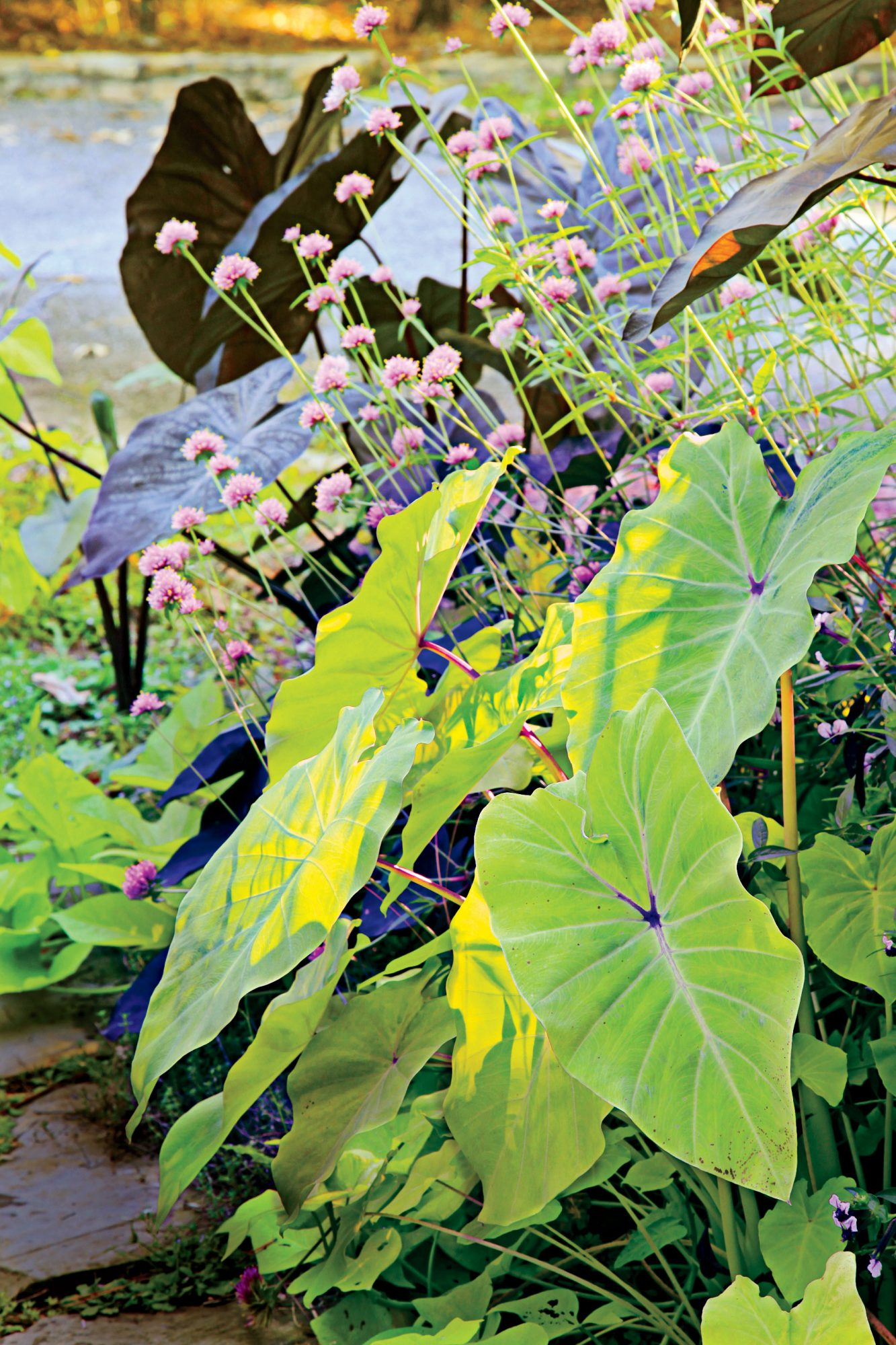 Elephant S Ear Plant Care Southern Living