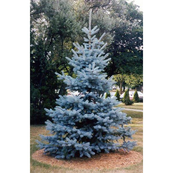 All I Want For Christmas Is A Beautiful Blue Spruce Southern Living