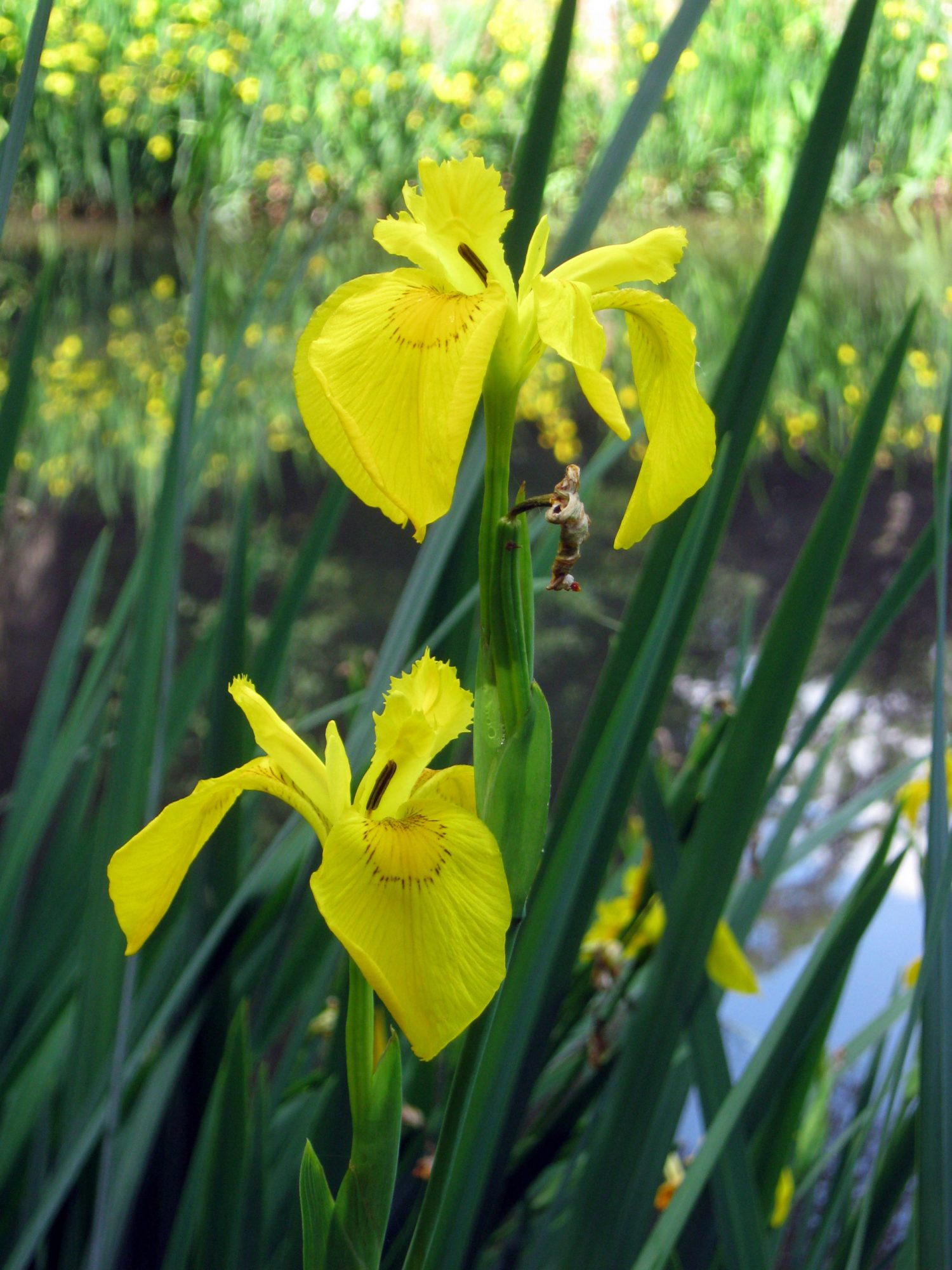 Yellow-flag iris