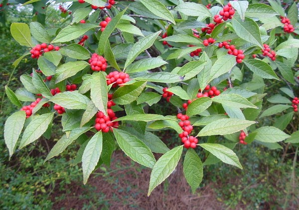 Winterberry in late summer