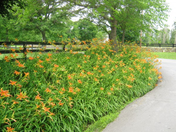 Wild orange daylilies aka  ditch lilies.  Photo: Steve Bender