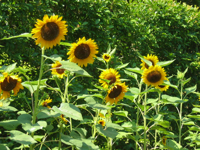 sunflowers-copy.jpg