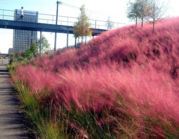 Pink muhly grass at Railroad Park in Birmingham. Photo: Steve Bender