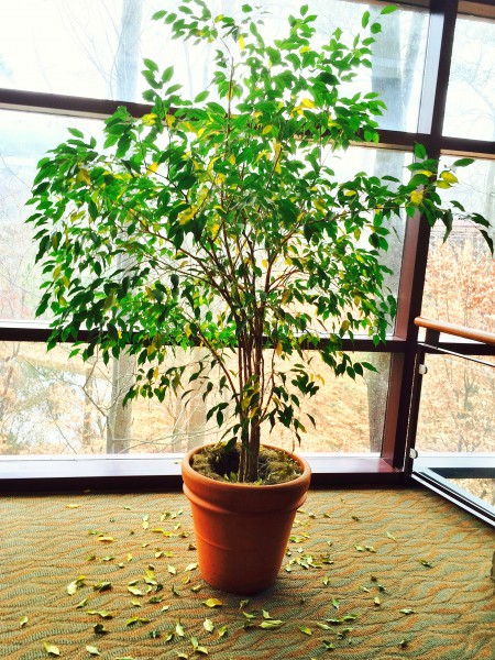 Why Your Ficus Tree Dropped Its Leaves