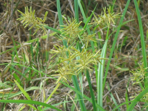 10 awful weeds and how to kill them southern living nutgrassflickr com e1433532445101g mightylinksfo