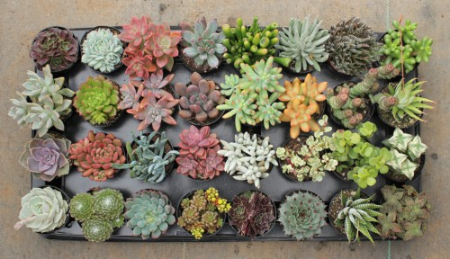 succulentsource-com-e1436992381463.jpg