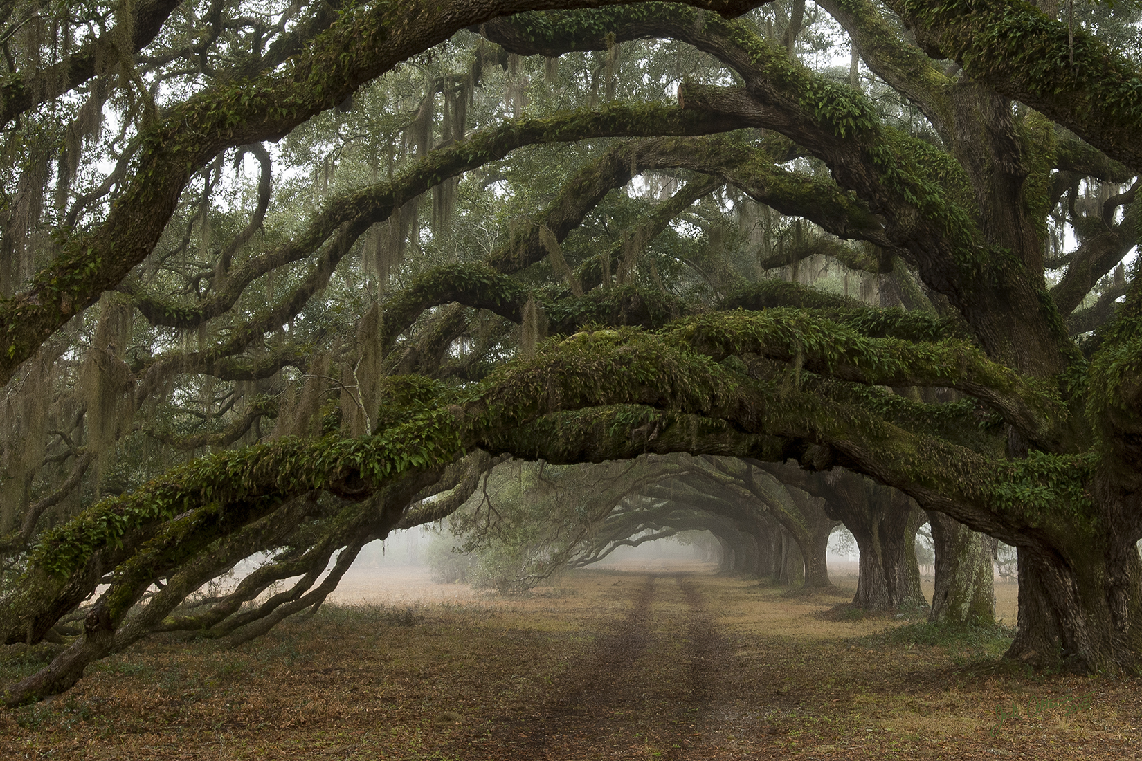 Avenue of Oaks - Dixie Plantation