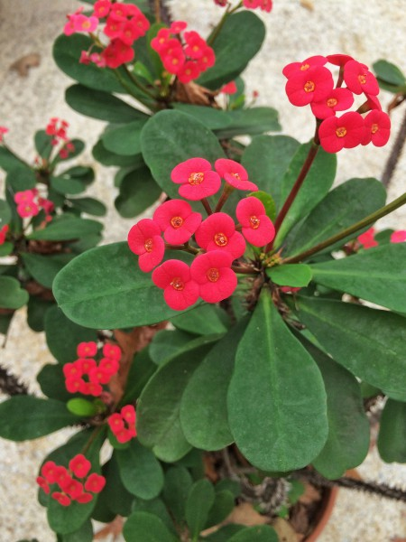 Want Flowers That Last For Months Crown Of Thorns Is You Plant Talk Nurserylive Wikipedia