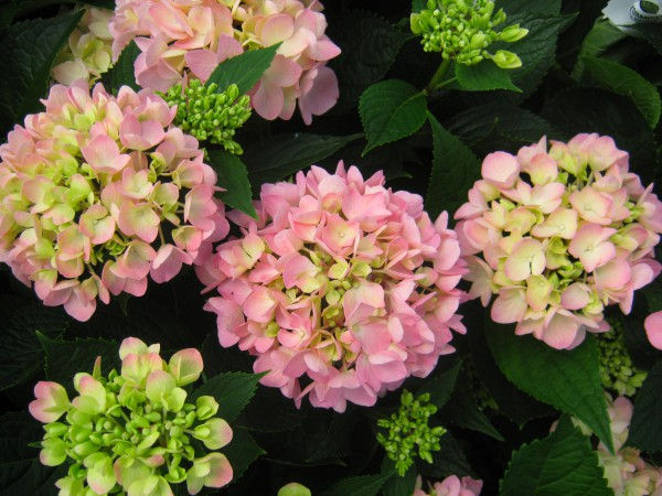 Why Your French Hydrangea Never Blooms Southern Living
