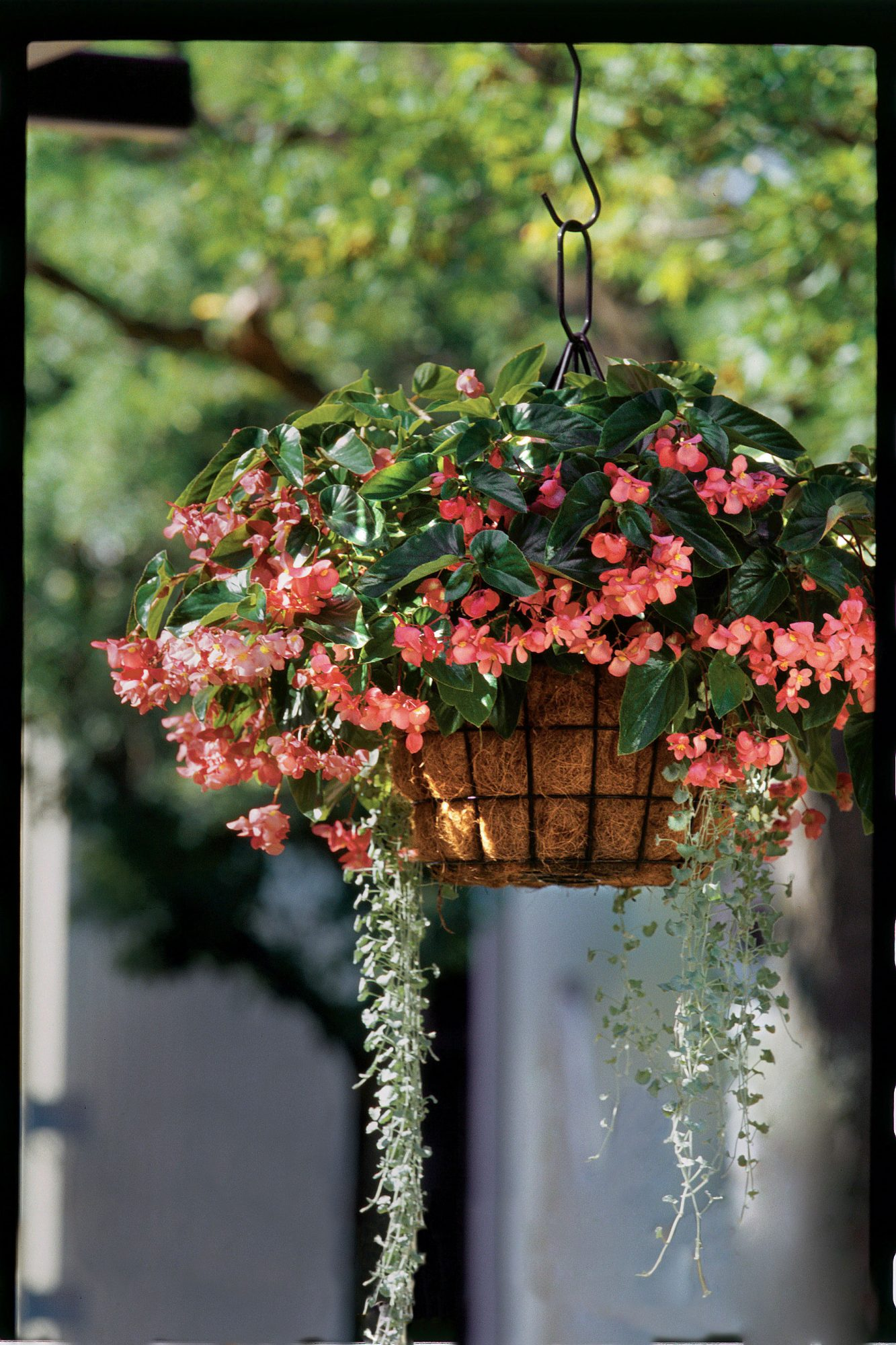 Hanging Begonia Container