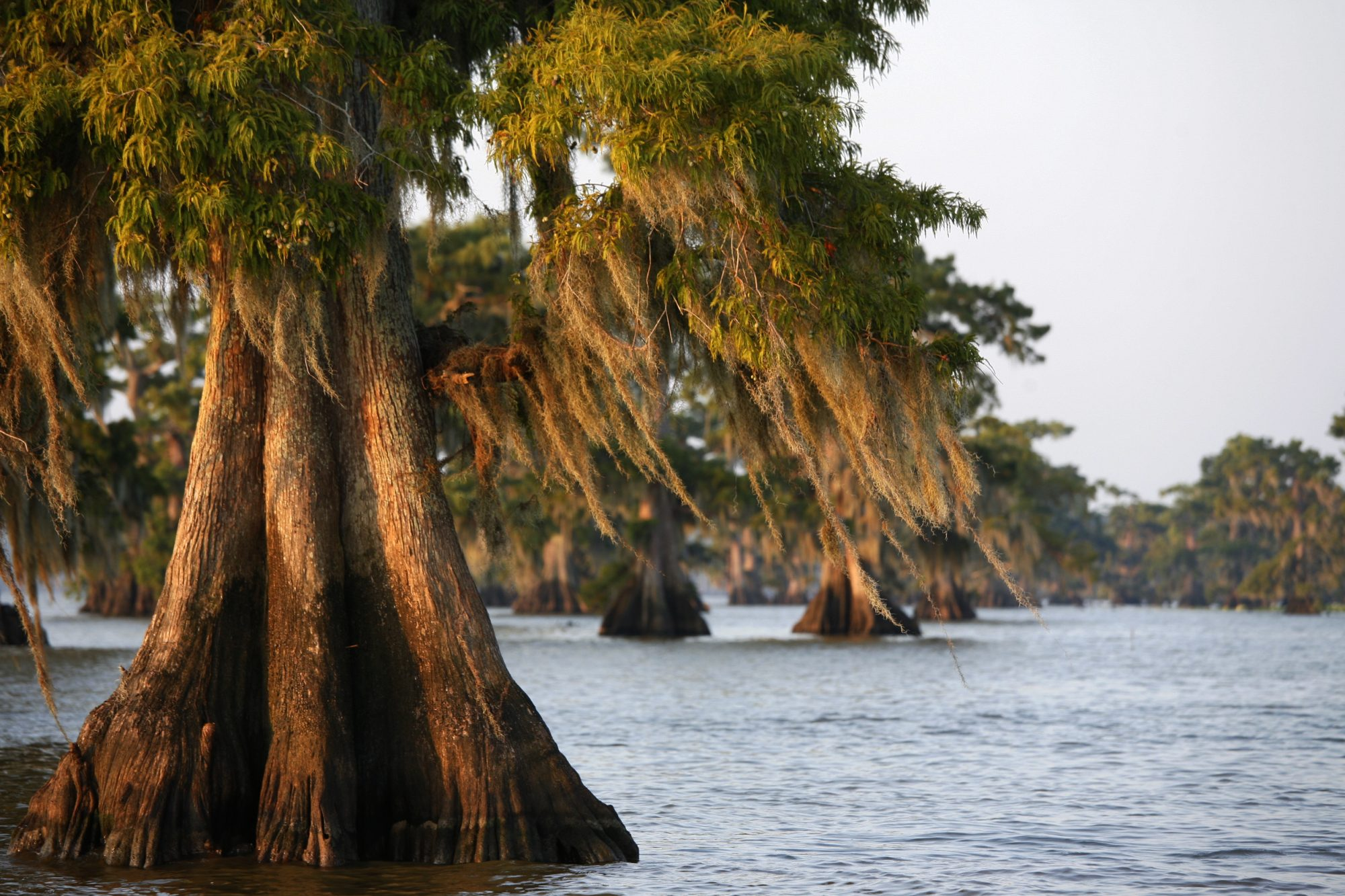 Atchfalaya River with Cypress Trees