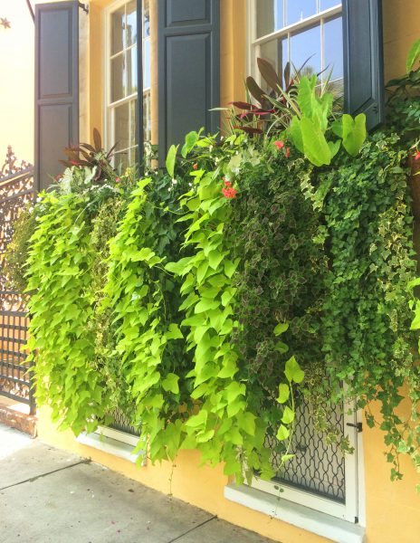 'Margarita' sweet potato vine with coleus and ivy in Charleston window boxes. Photo: Steve Bender