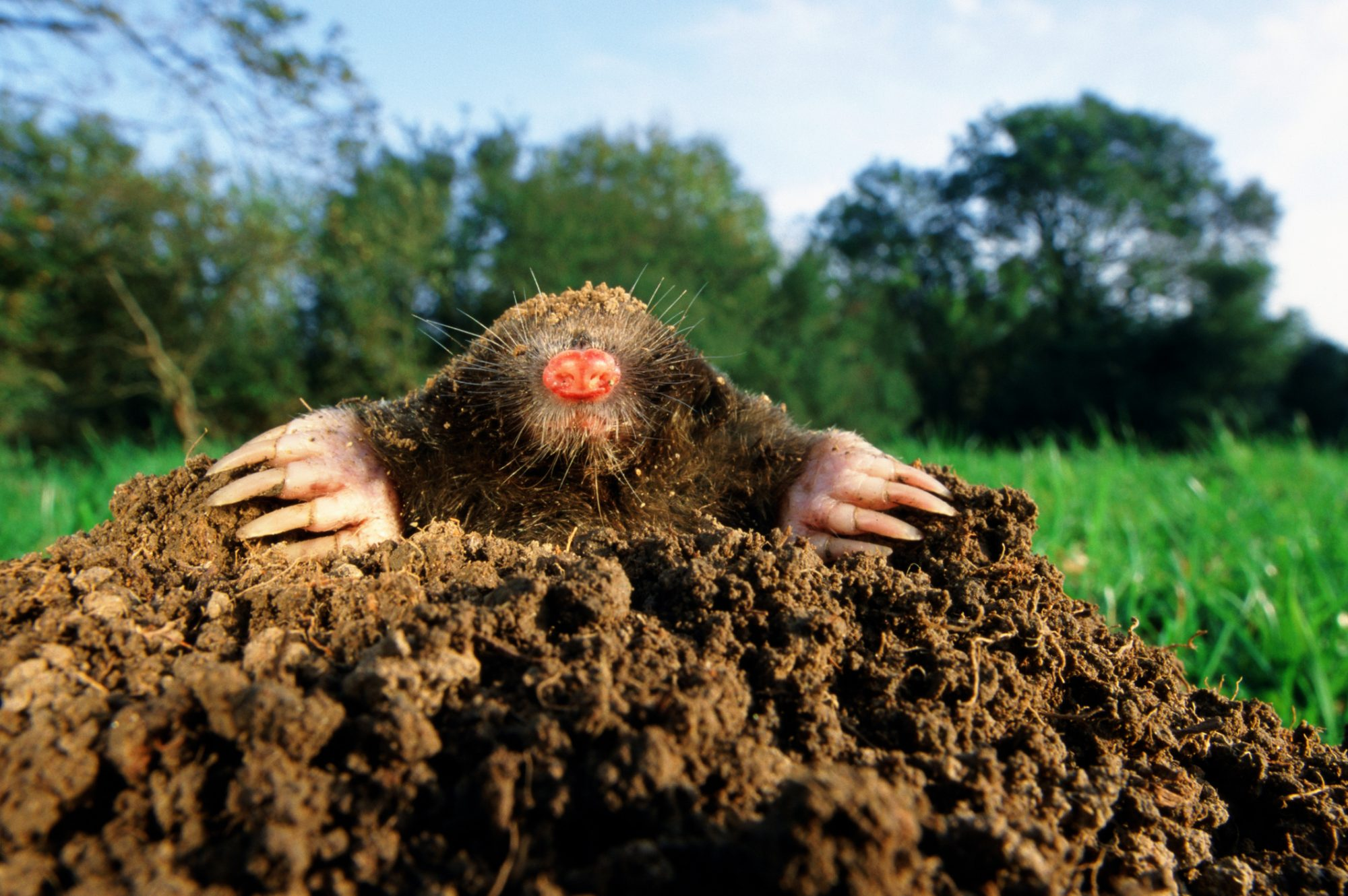 Mole Emerging from Mole Heap