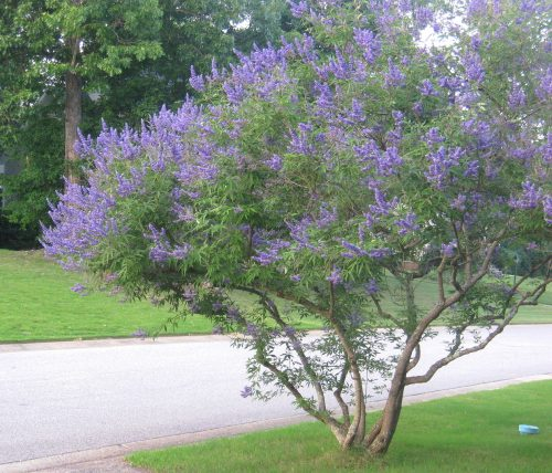 Medium To Small Trees For Flowering Or Other Distinctive Accent Carolina Silverbell