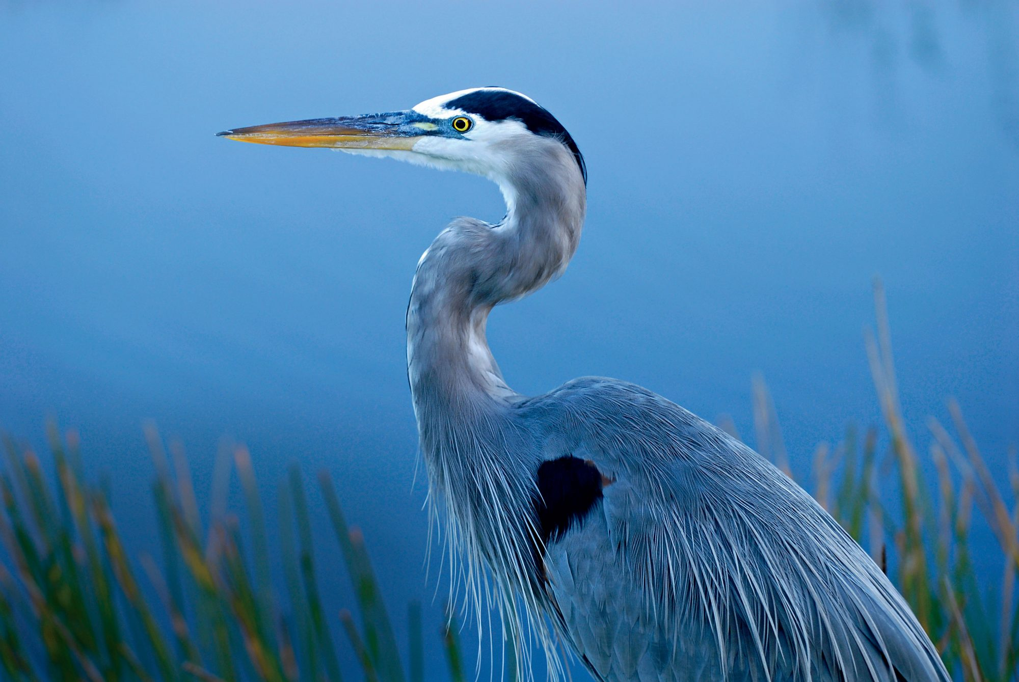 Great Blue Heron in Everglads National Park