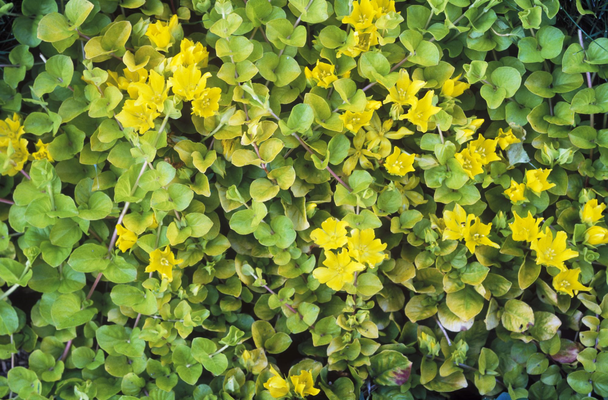 Creeping Jenny lawn cover