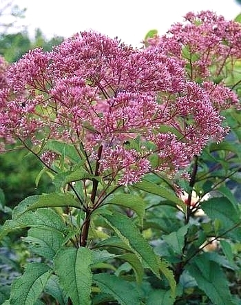 eupatorium-purpureum-little-red-flower-head-closeupi-5363s-176_phixr.jpg