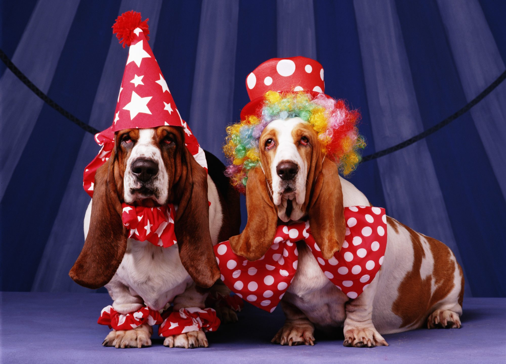 Bassett Hounds dressed as clowns for Halloween