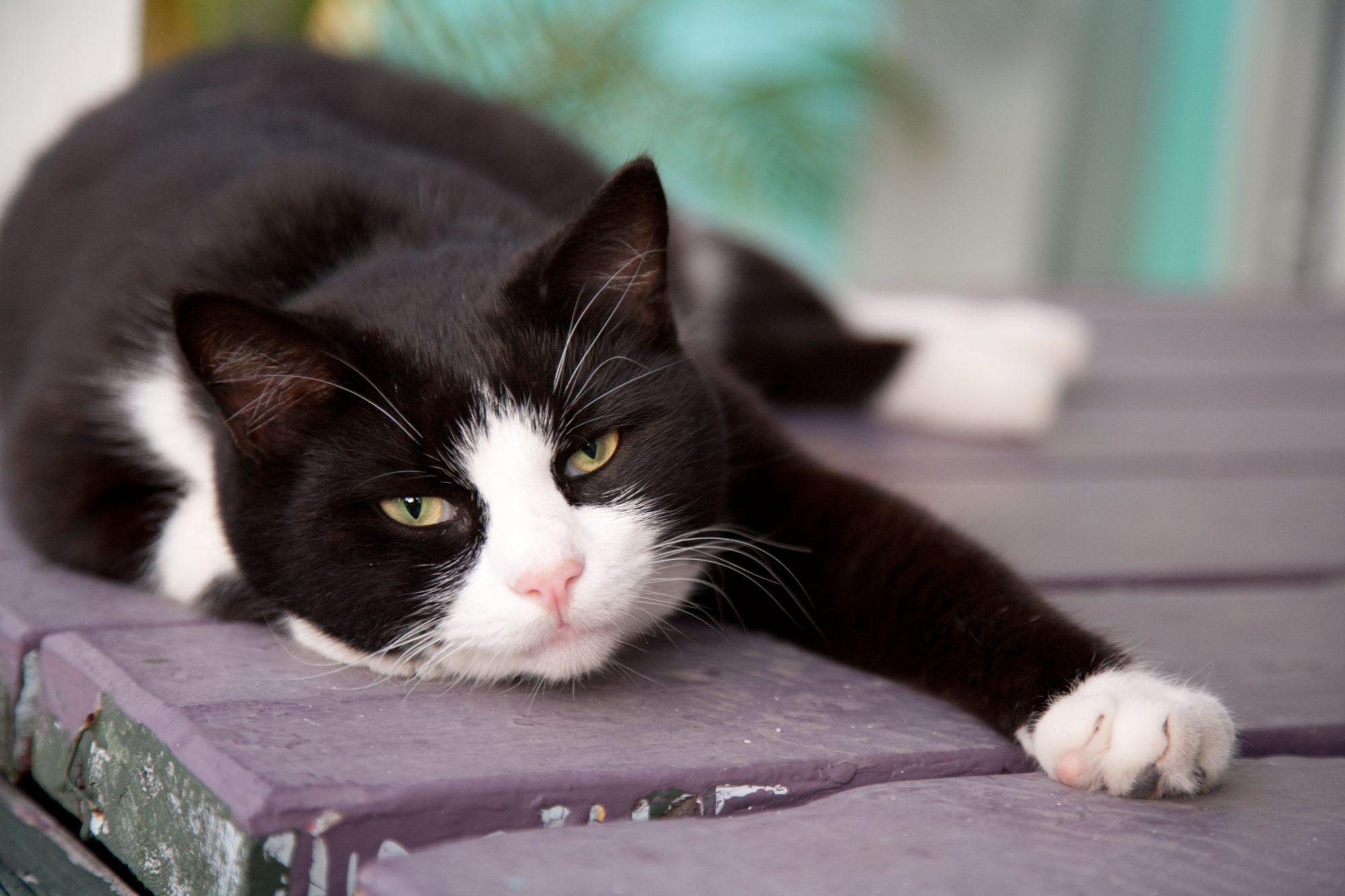 Black and White Cat Lounging Outside