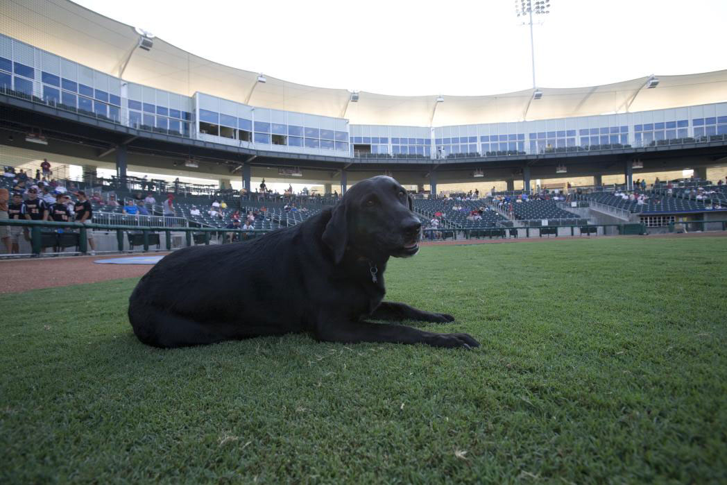 black lab at baseball park