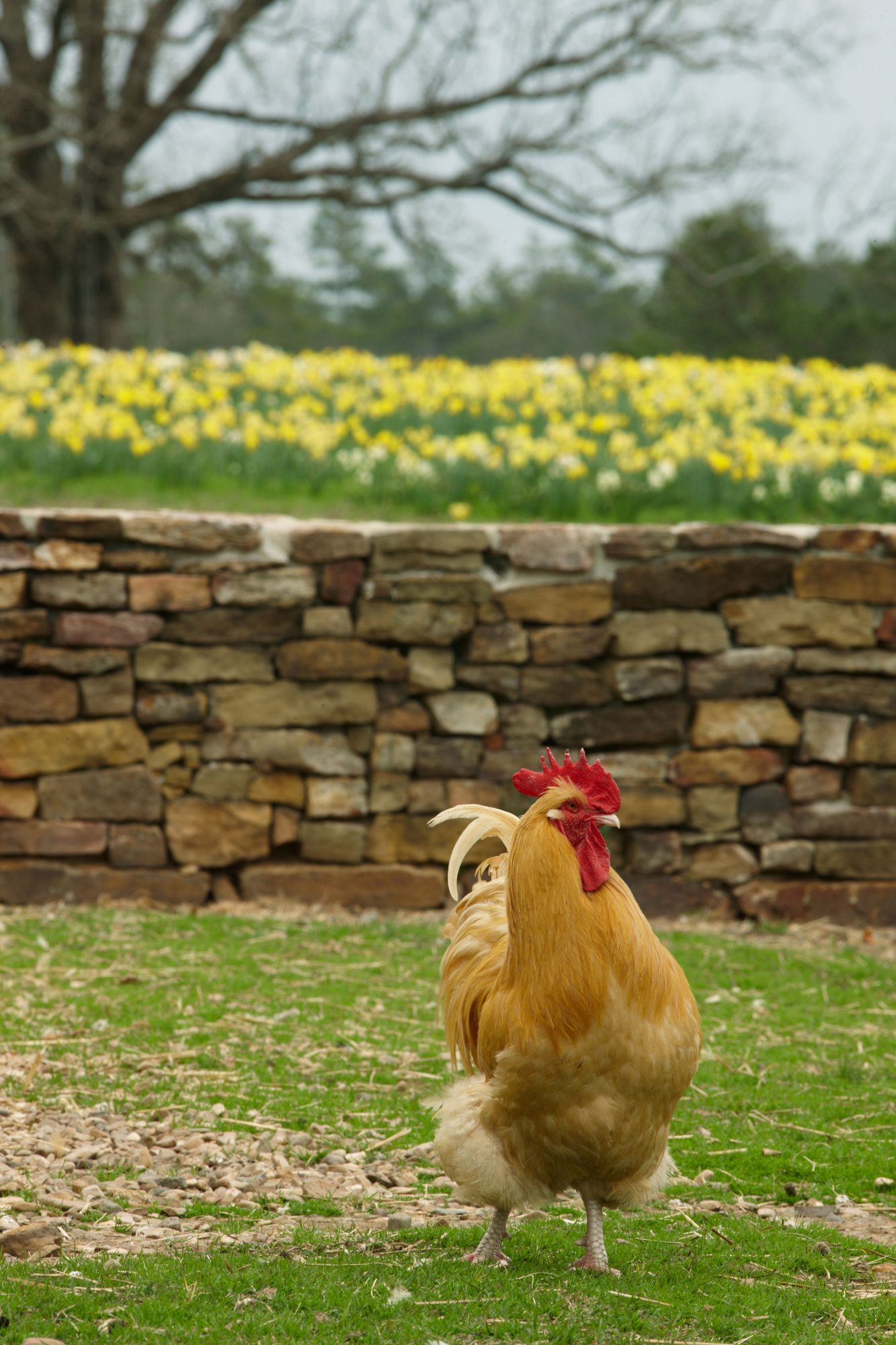 Moss Mountain Farm. Close-up of chicken walking on grass in front of rock wall.
