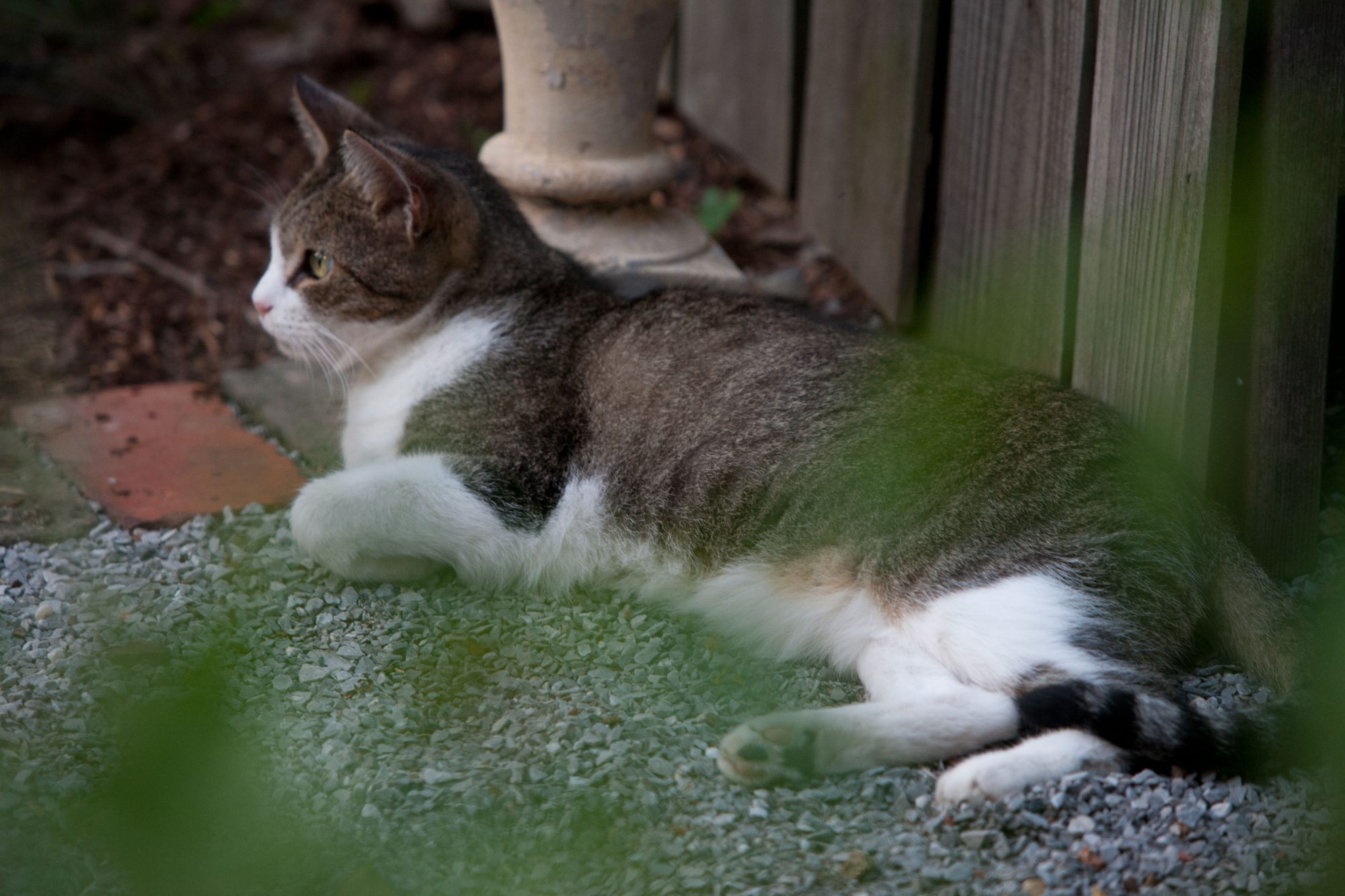 Gray and White Cat Outside