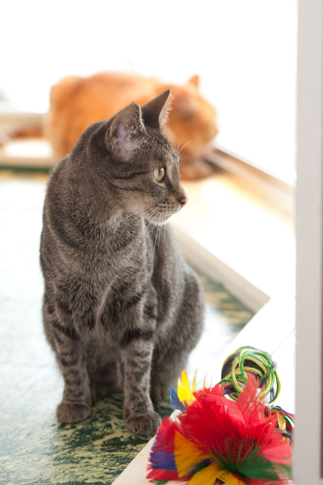 Gray Cat with Toys