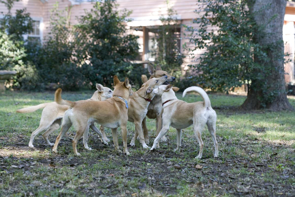 Pack of Dogs Playing