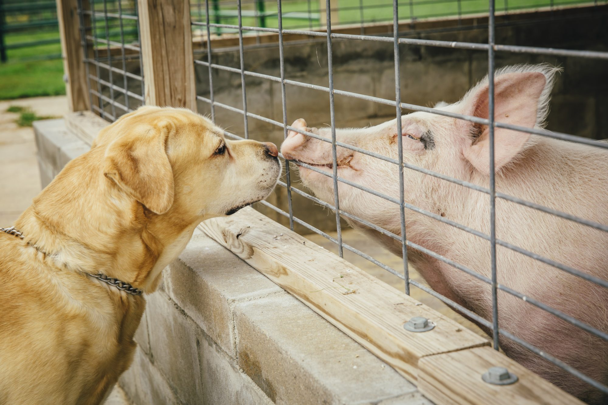 pig and dog meeting