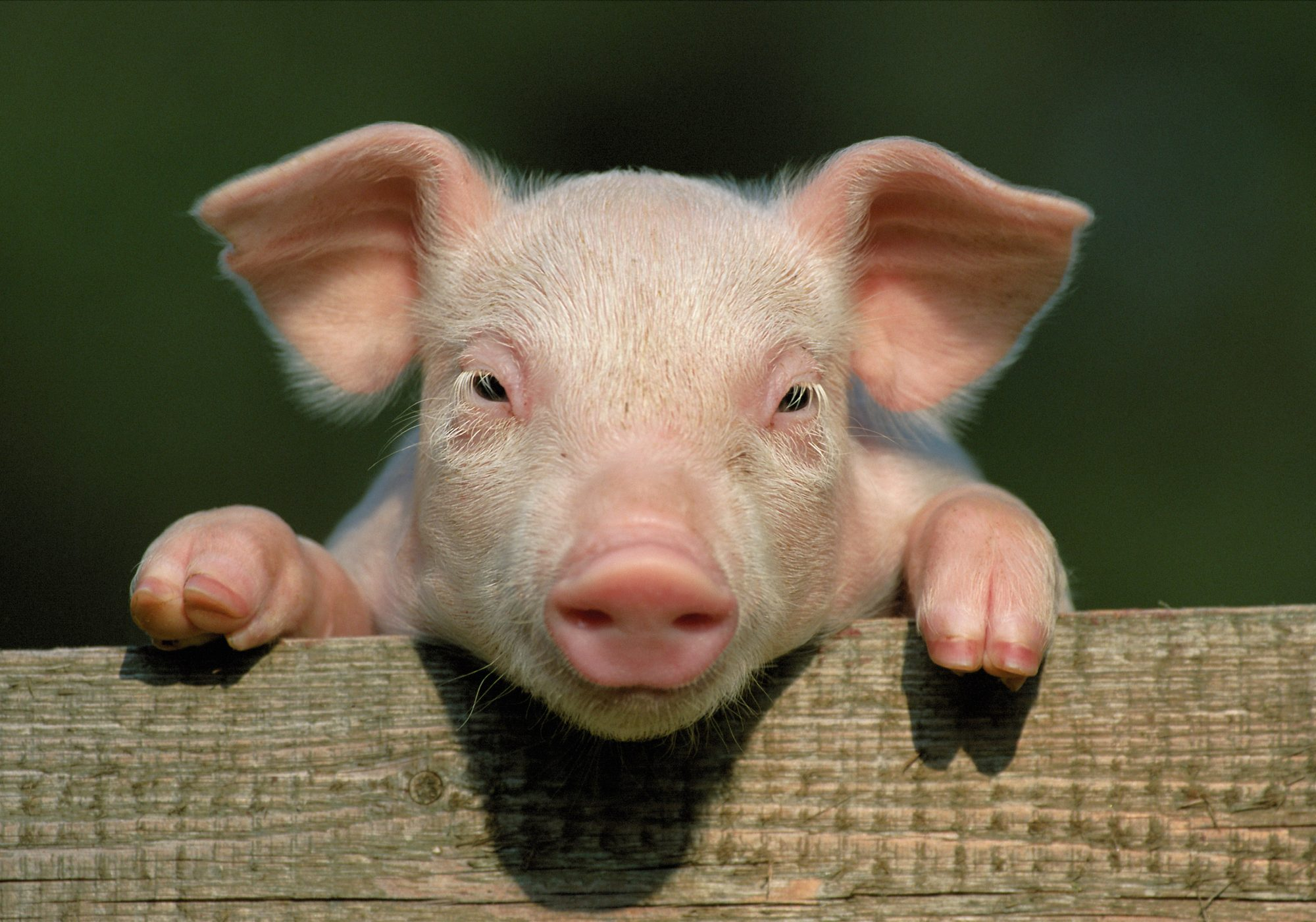 pink pig leaning on wooden fence