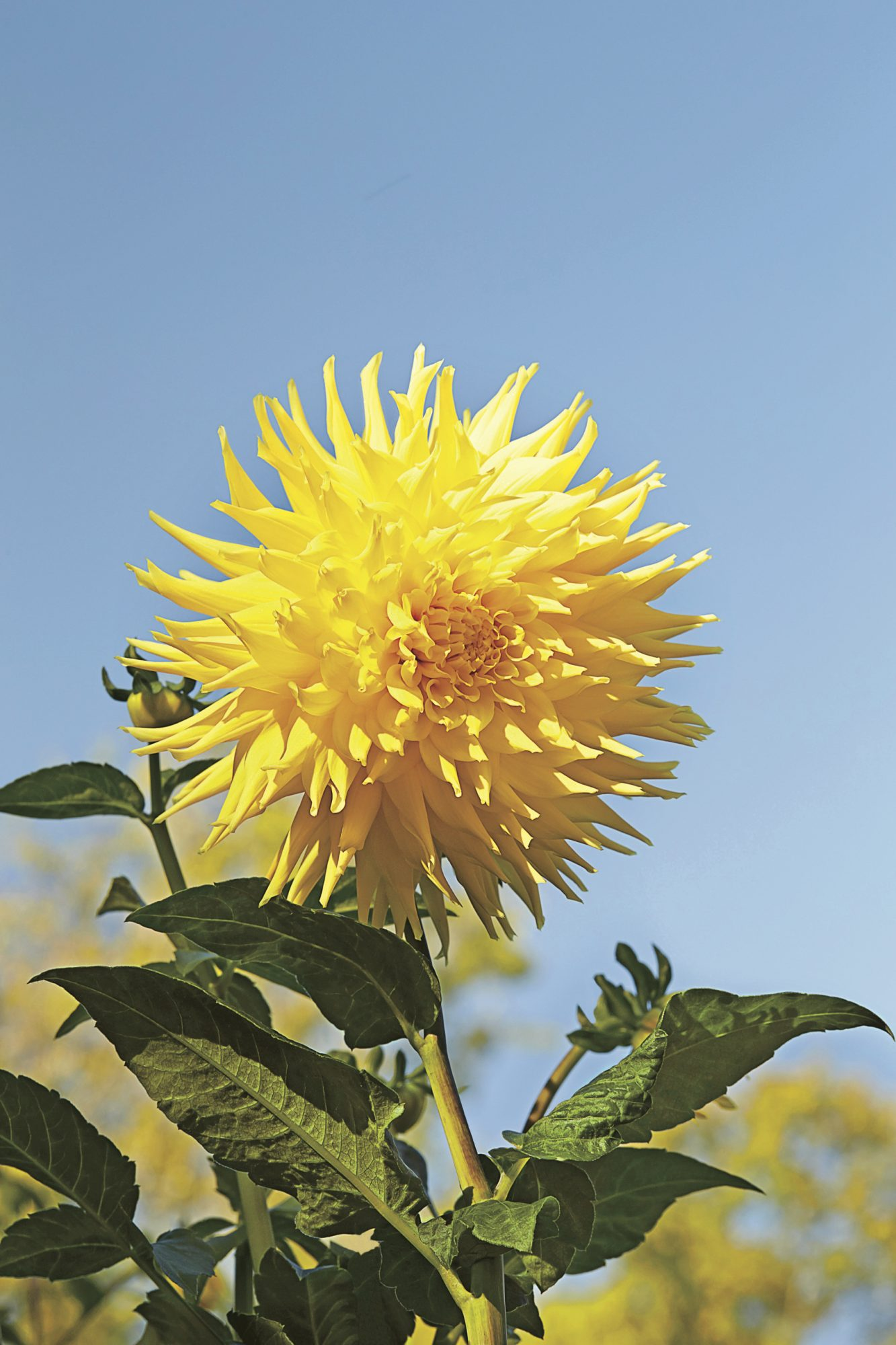 7 things you didnt know about dahlias southern living dahlia facts izmirmasajfo