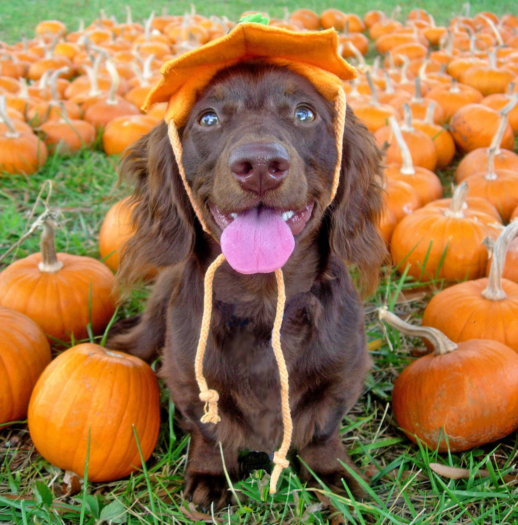 Dachshund puppy in pumpkin patch