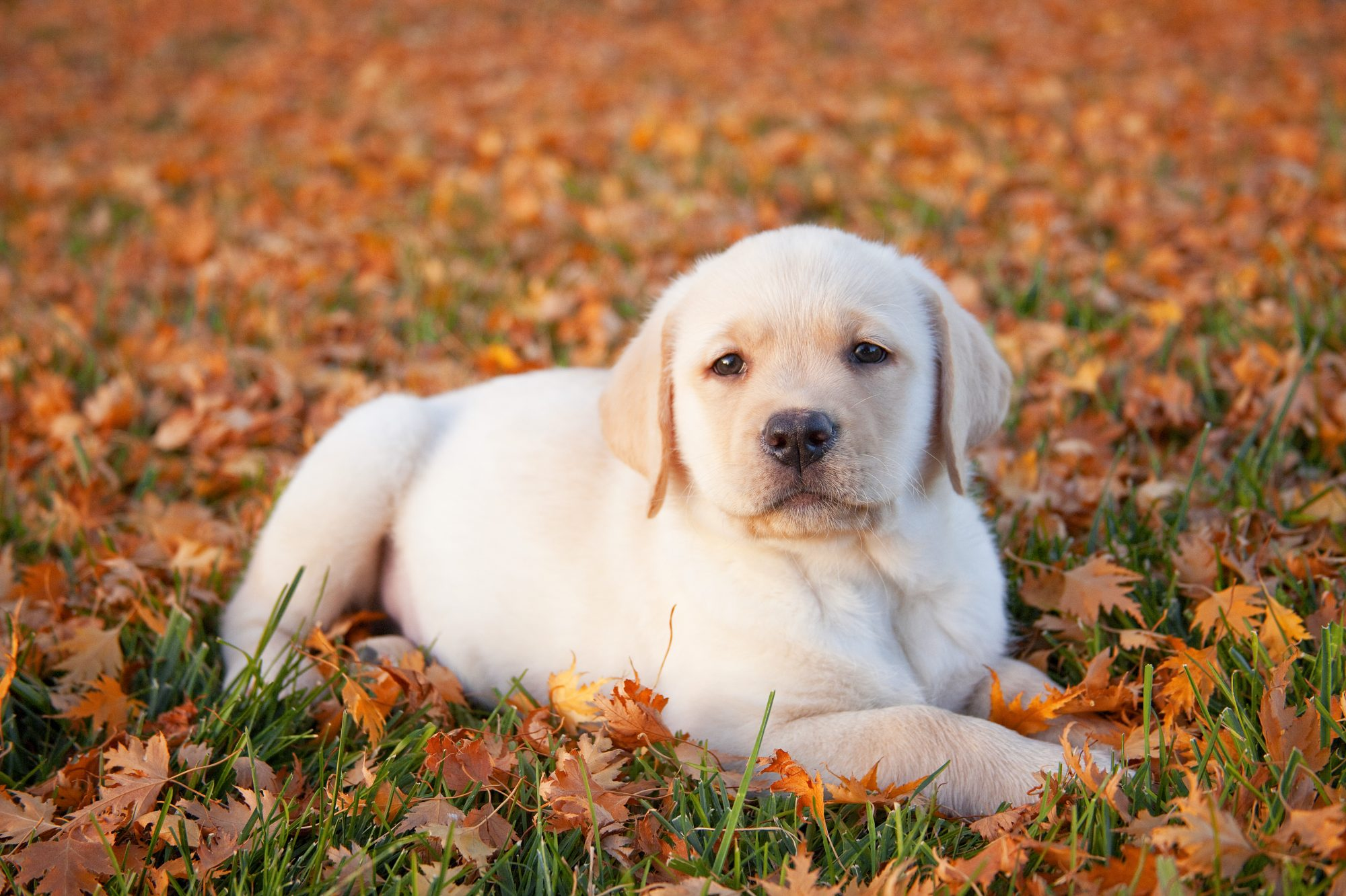 Golden Retriever puppy in fall leaves
