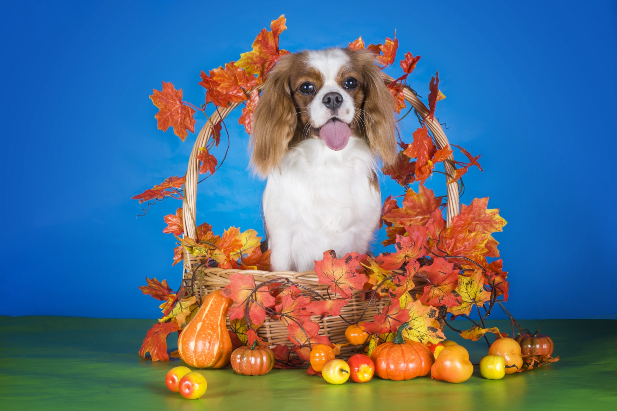 King Charles in Fall Basket