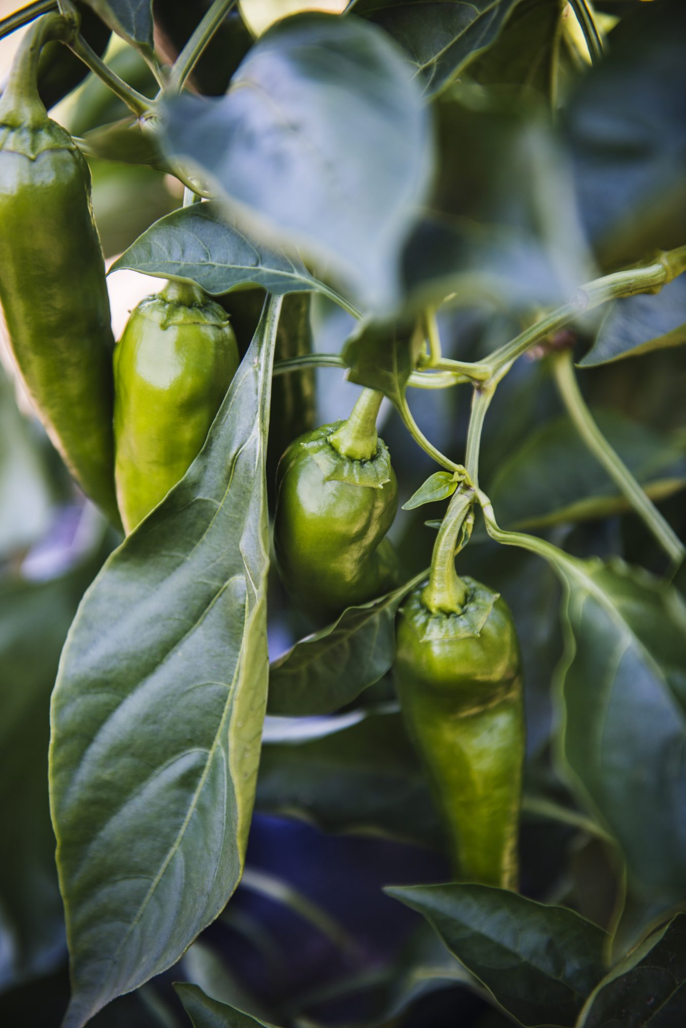Green Jalapeno peppers growing on the vine