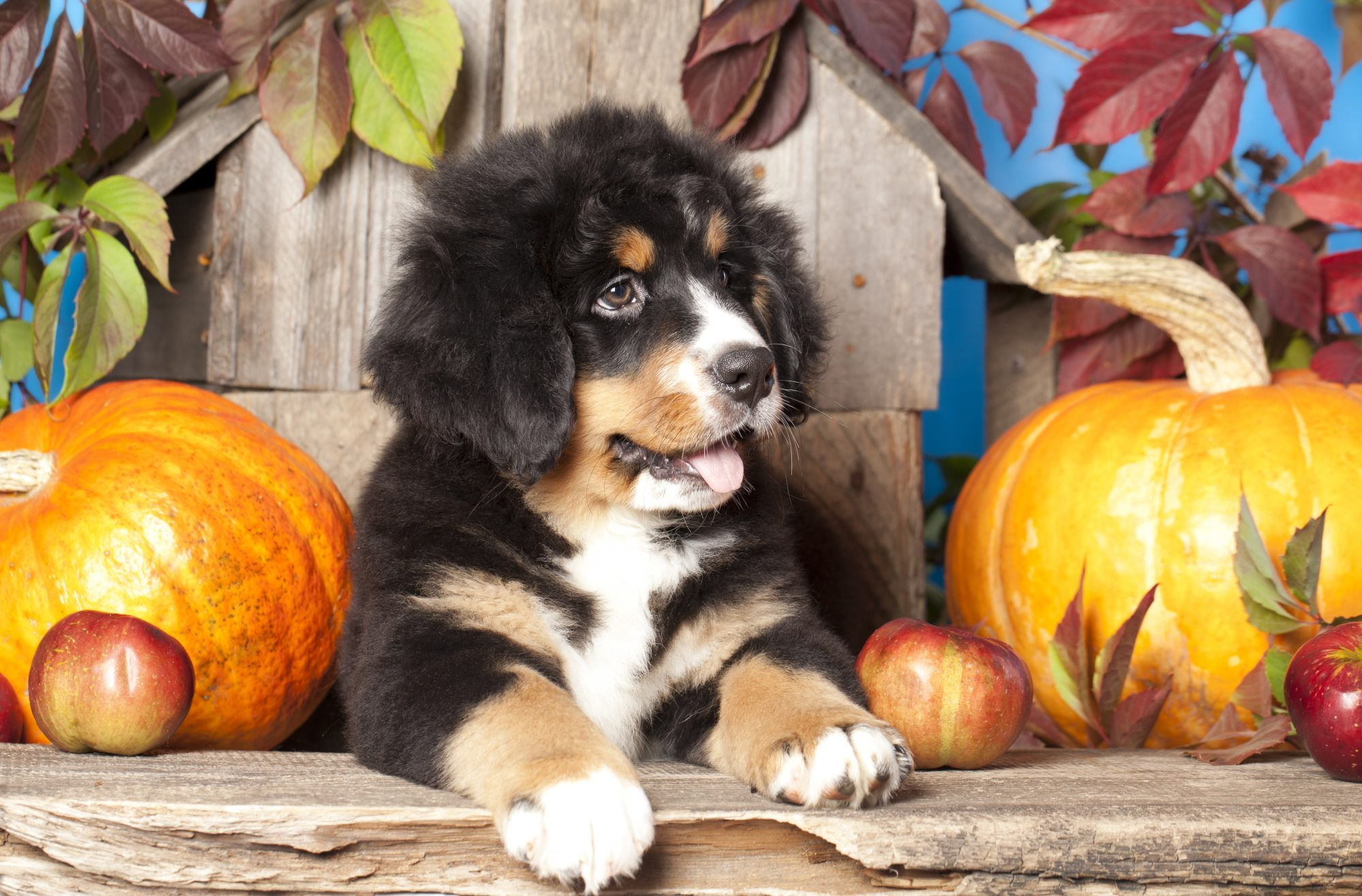 Puppy with Pumpkins