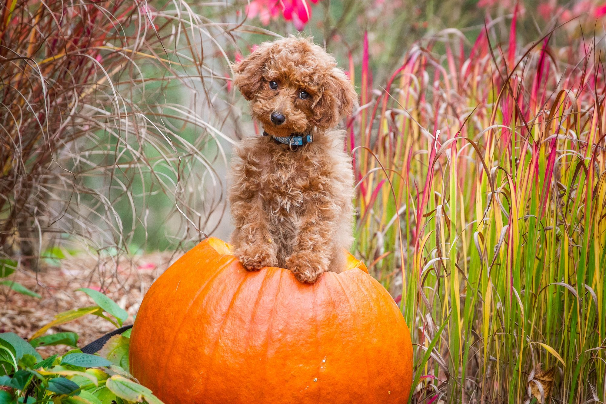 toy poodle in pumpkin