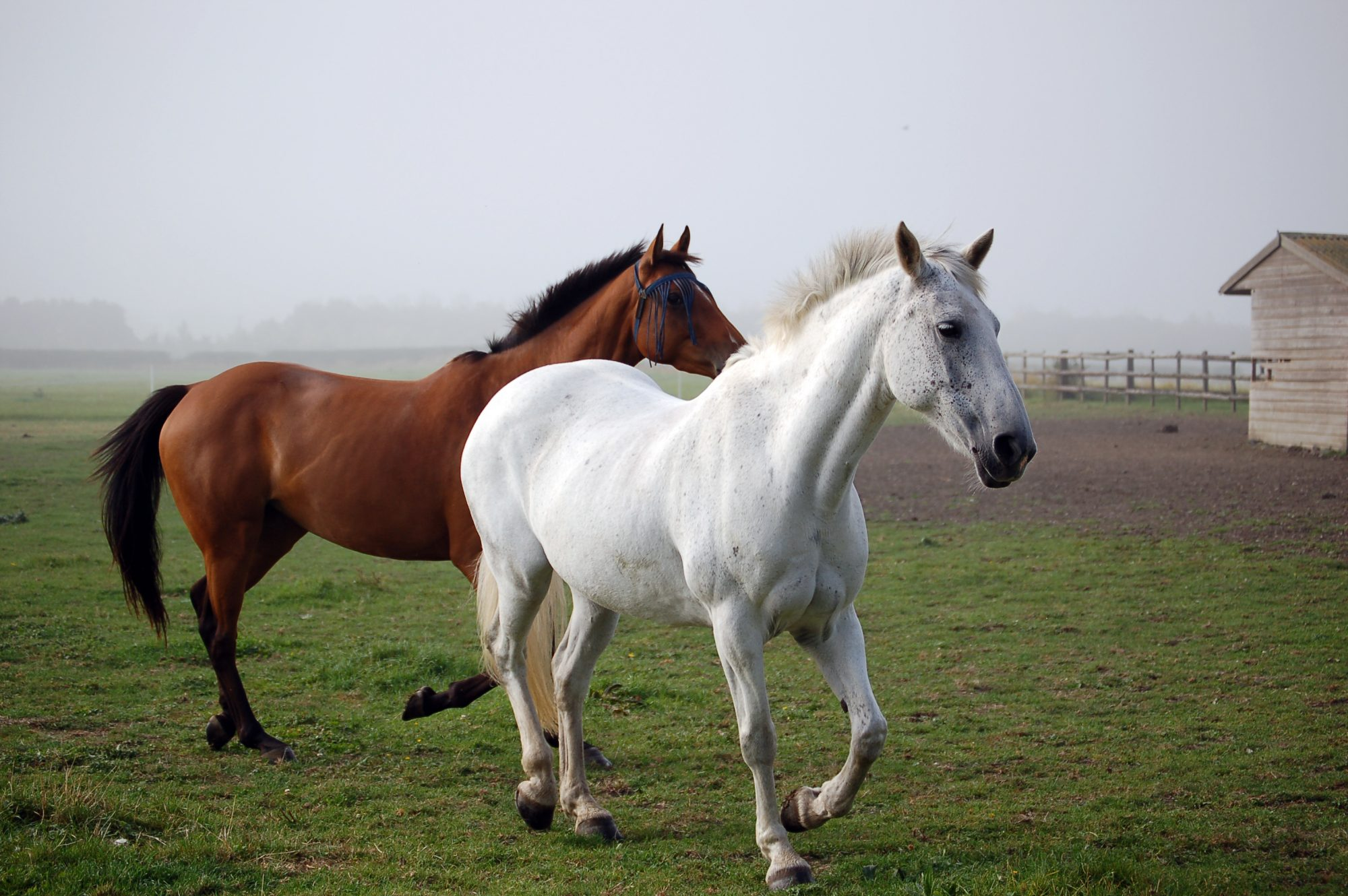 brown and white horses trotting in field
