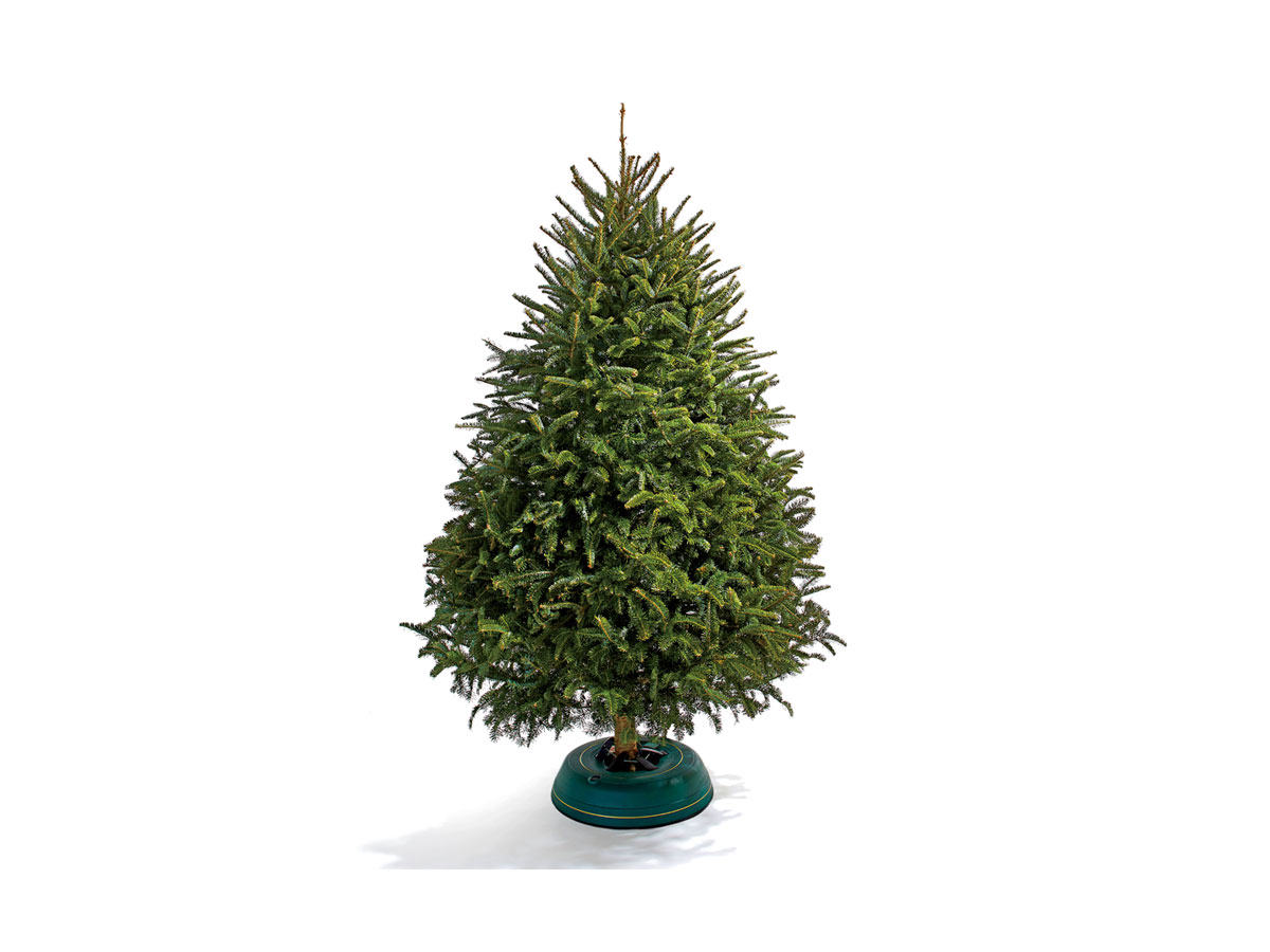 fraser fir - 2 Foot Christmas Tree