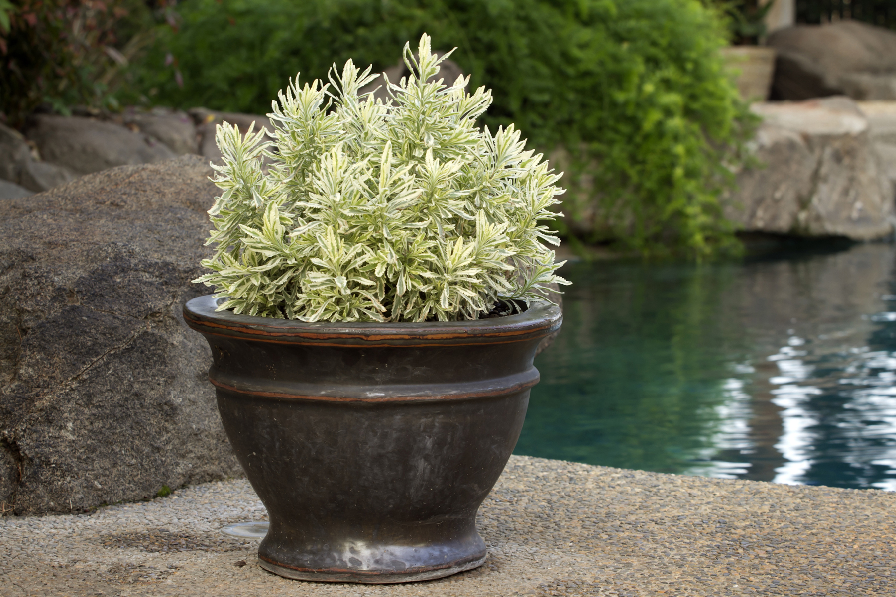 'Meerlo' lavender evergreen container