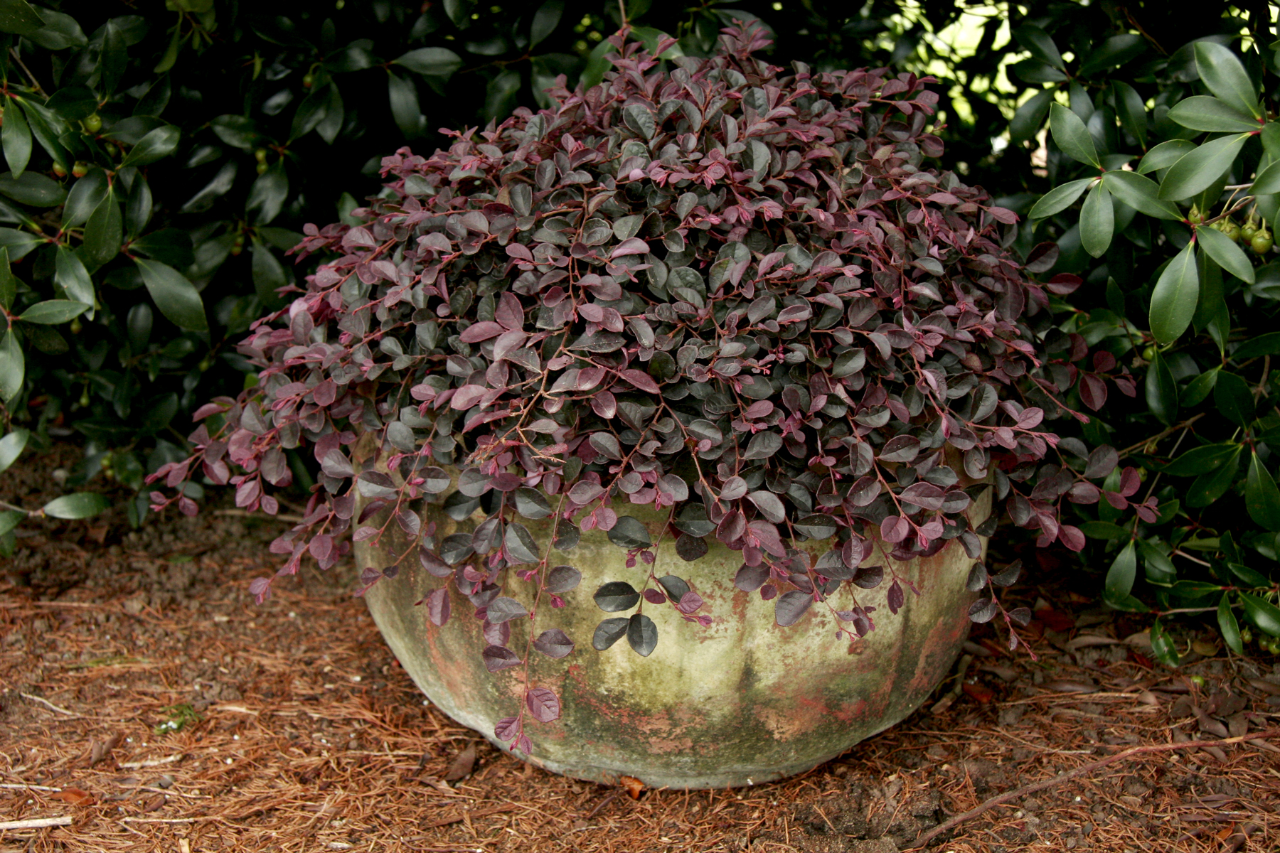 'Purple Pixie' dwarf loropetalum