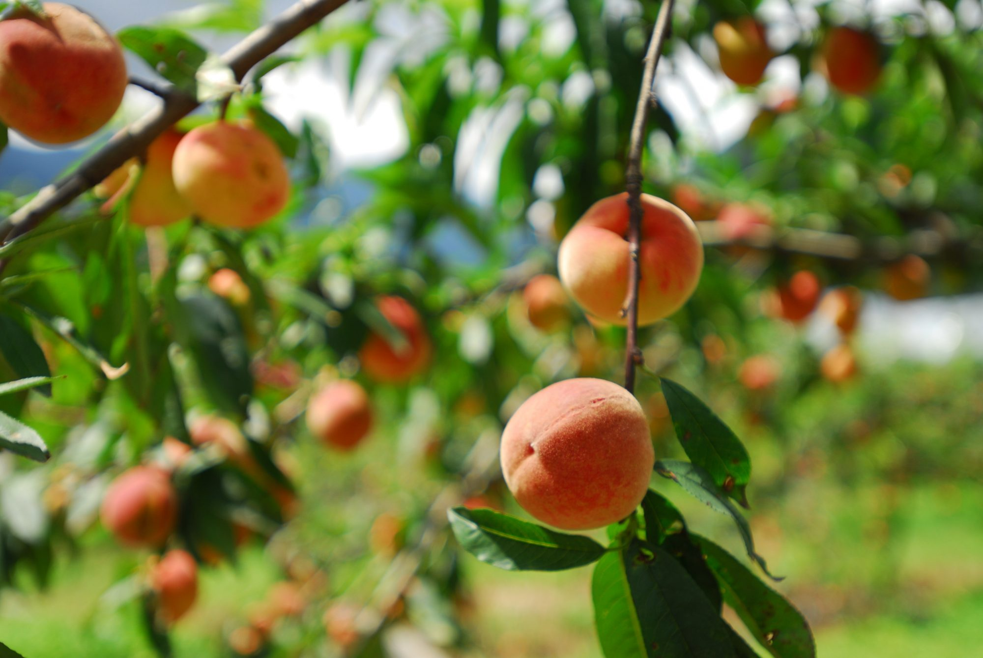 How to grow peaches and nectarines southern living for The peach tree