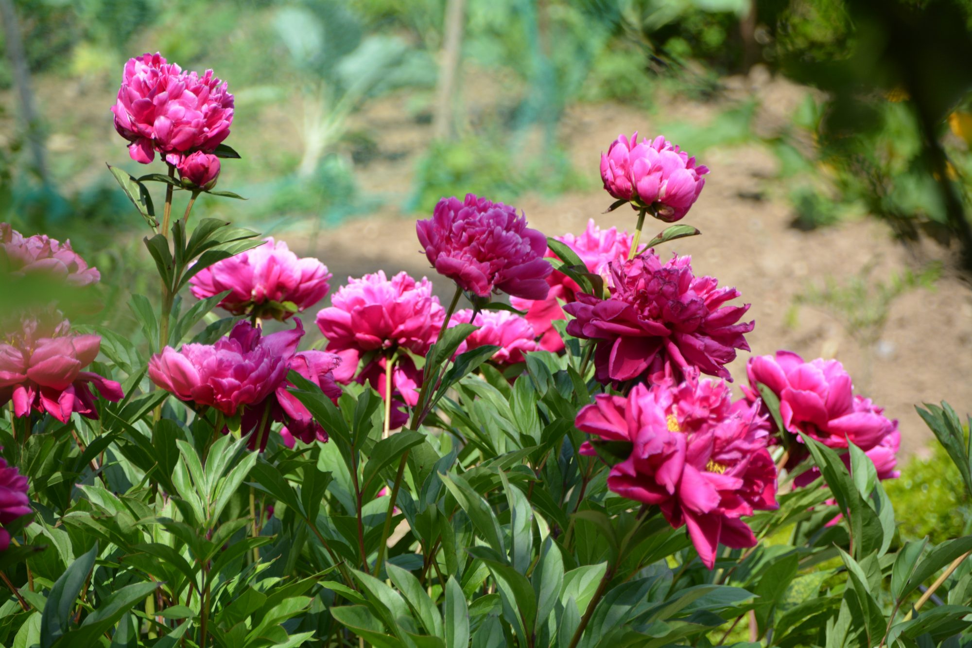 12 surprising facts all peony enthusiasts should know southern living - Growing peonies in the garden ...