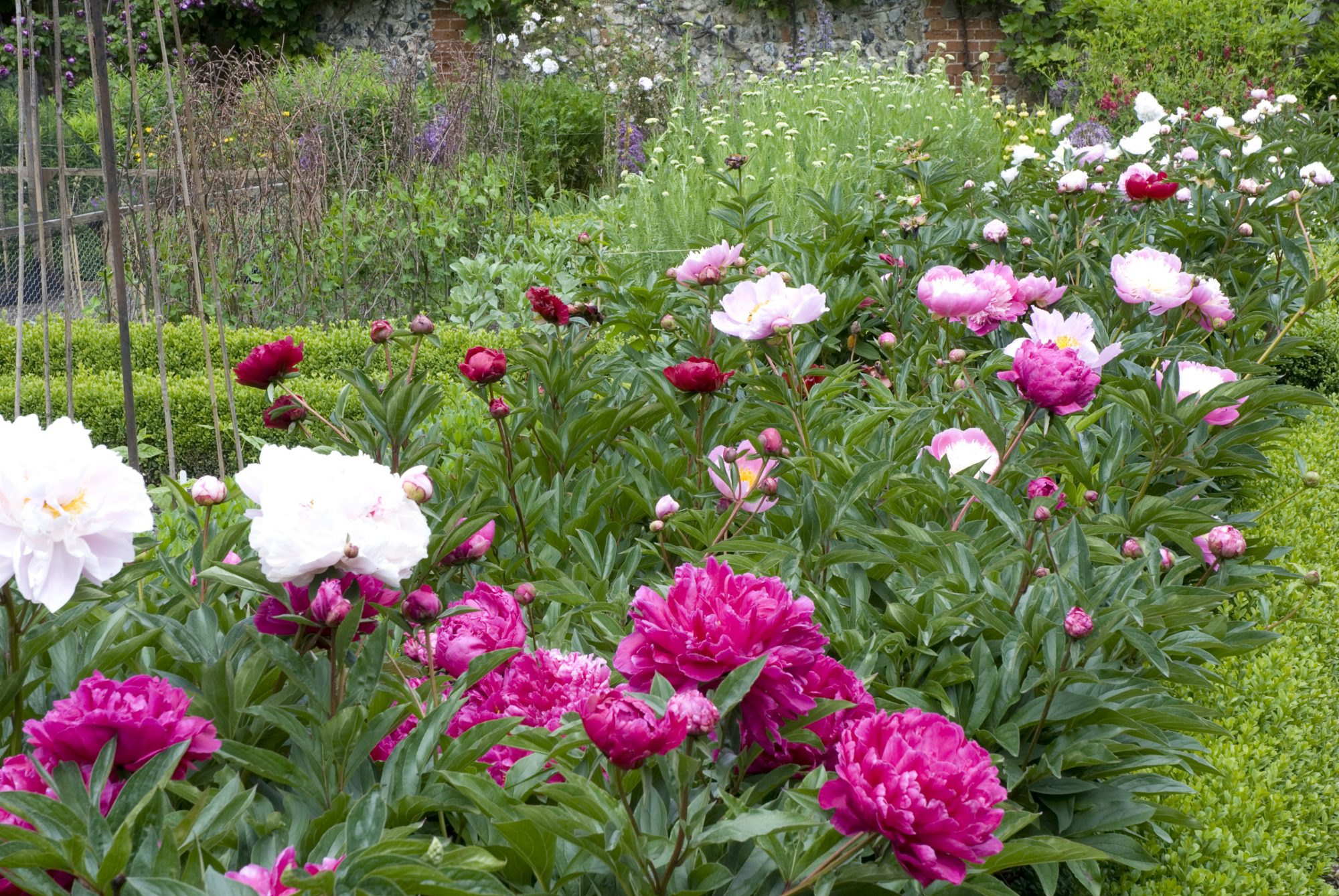 Peonies Border in Garden