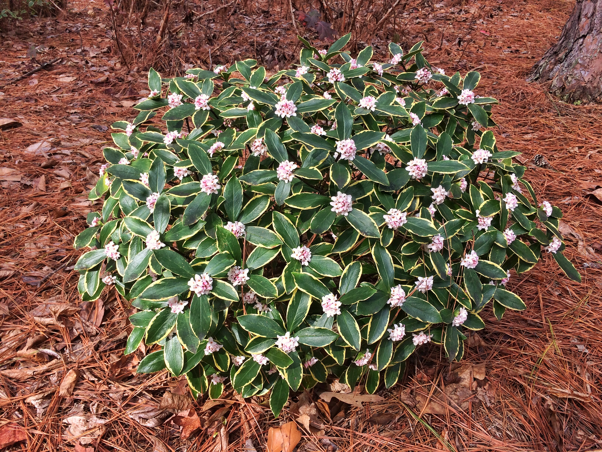 Winter Daphne Shrub