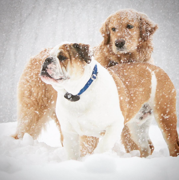 Bull Dog and Golden Retriever In the Snow