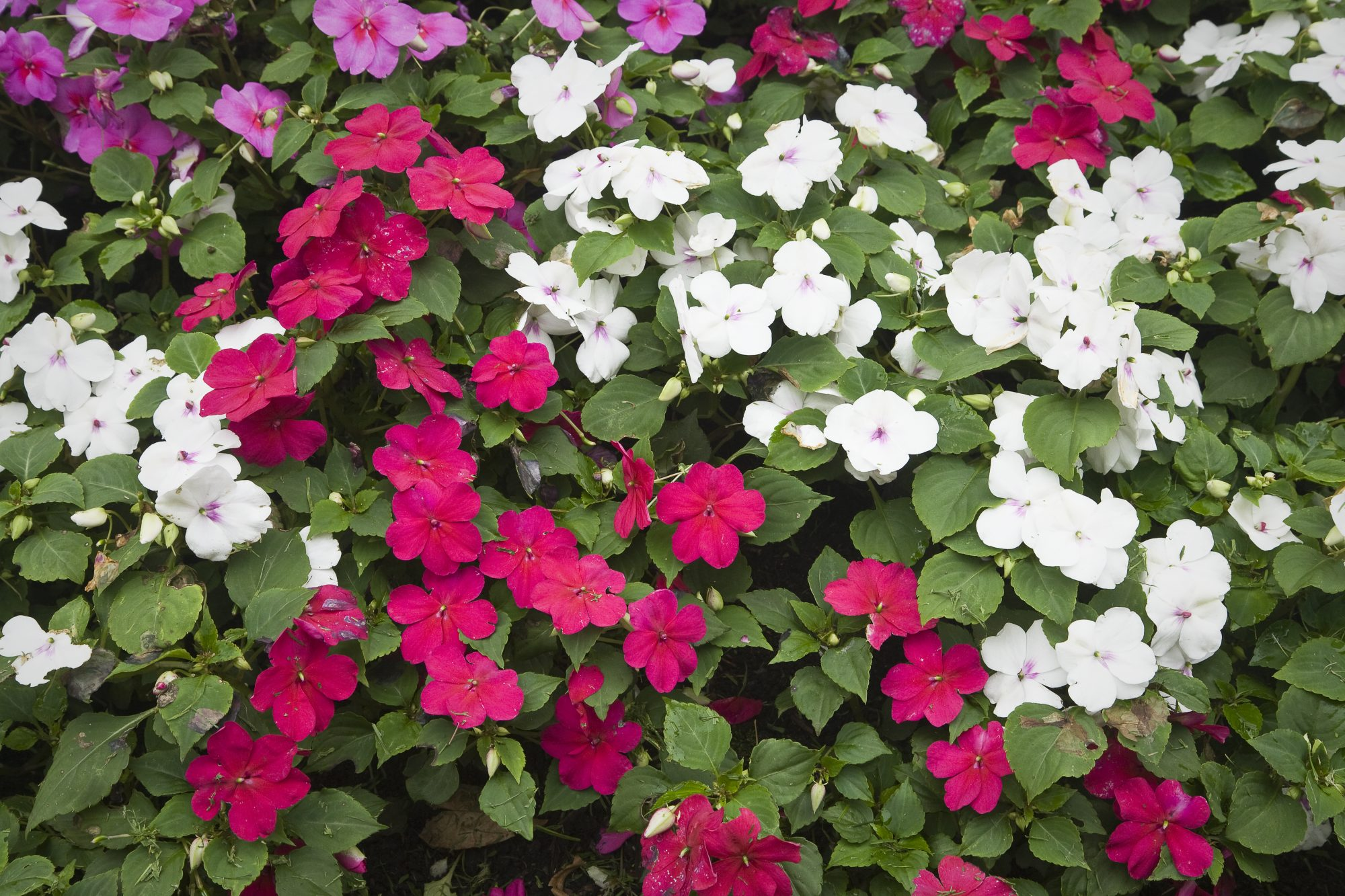 Shades of Pink Impatiens