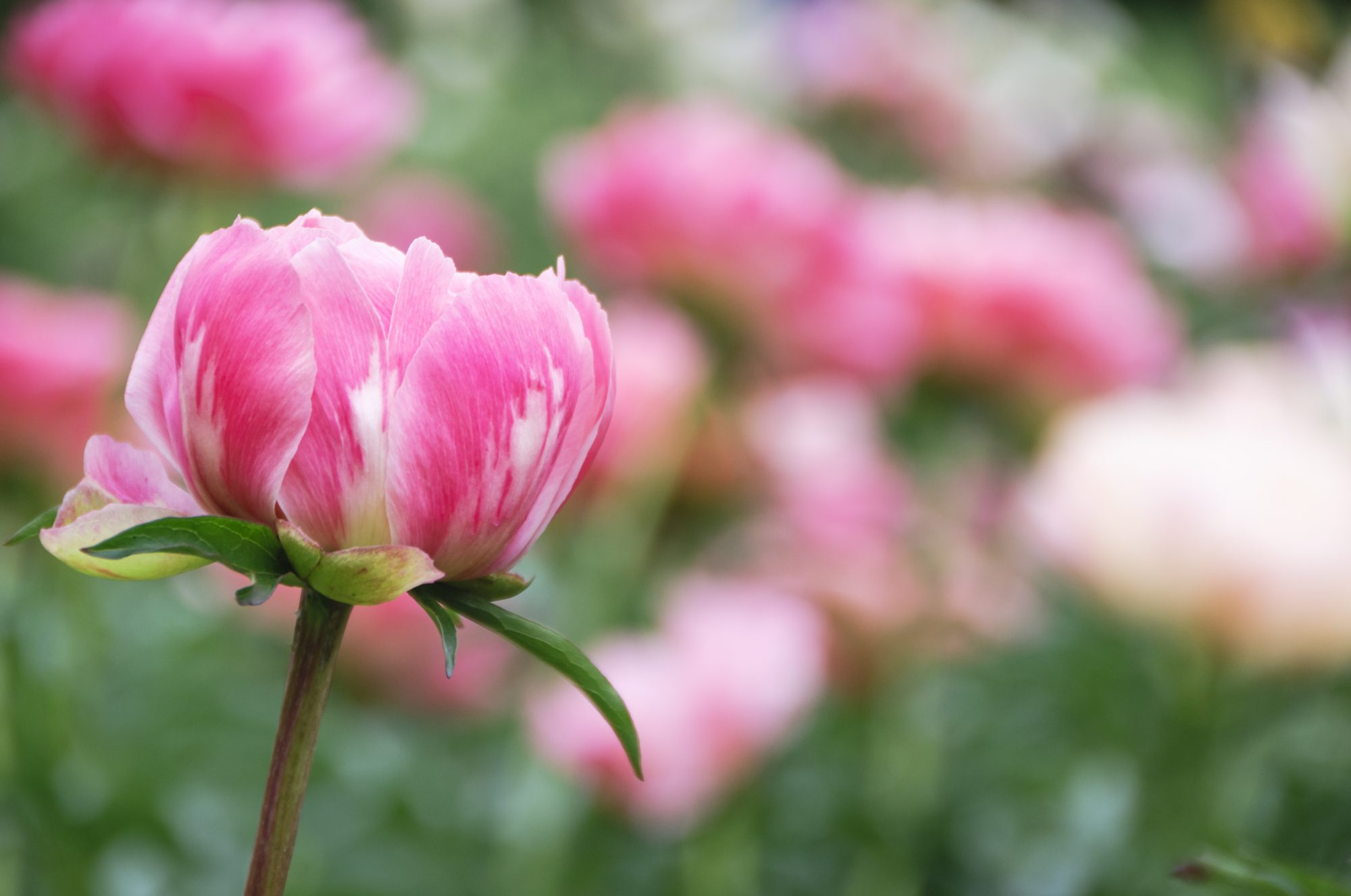 Peonies Last Forever Growth Location